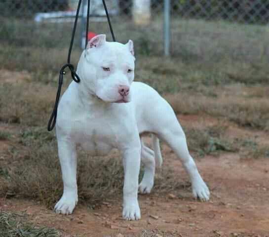 Solid White Pitbull Terrier American Pitbull Terrier Bully Dog
