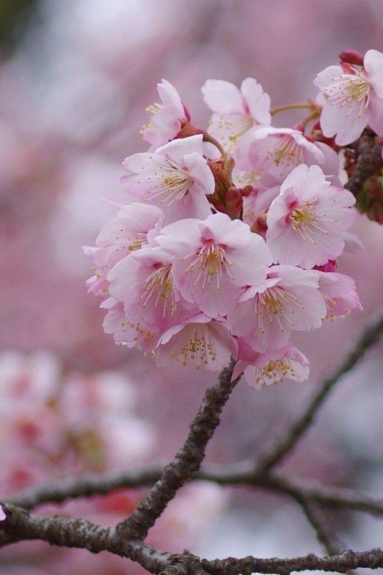 Uyamt S Memo Blossom Cherry Blossom Japanese Flowers