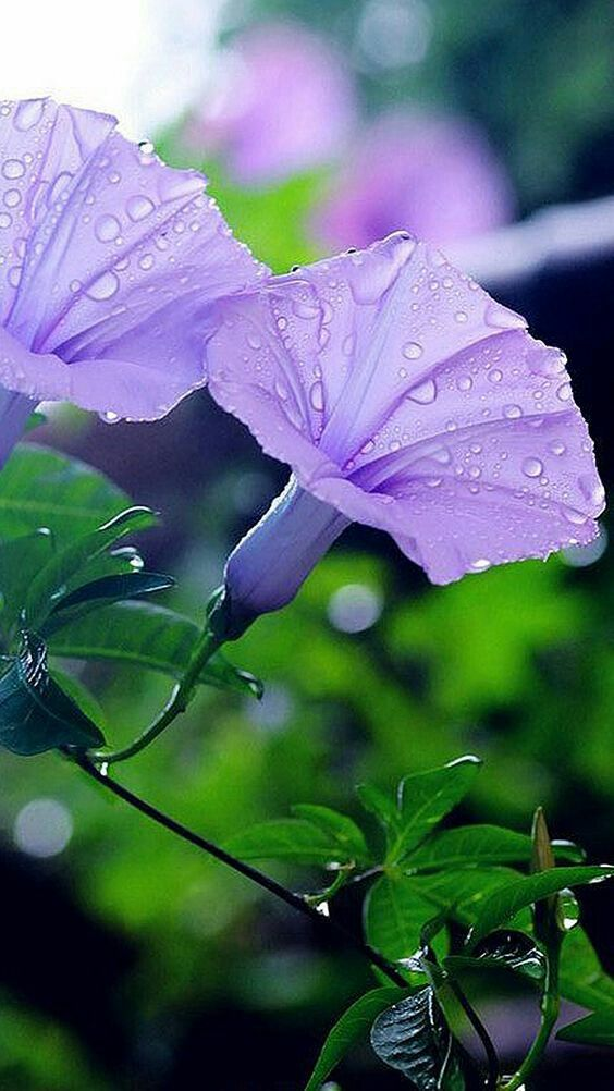 Color Lila Morning Glory Flowers Types Of Purple Flowers Purple Flowers