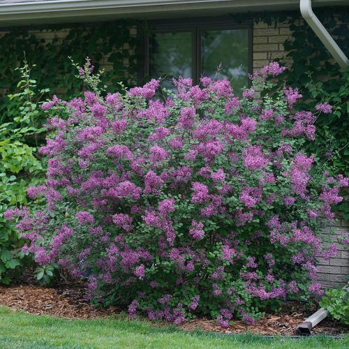 Syringa Bloomerang Dark Purple Buy Lilac Bloomerang Shrubs Online In 2020 Purple Shrubs Bloomerang Lilac Purple Plants