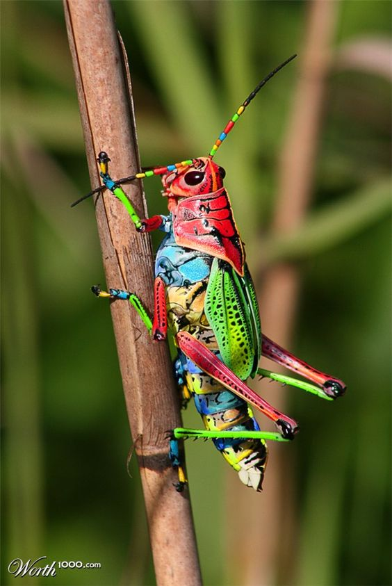 Painted Grasshopper, Dactylotum bicolor. Also known as the Rainbow Grasshopper.
