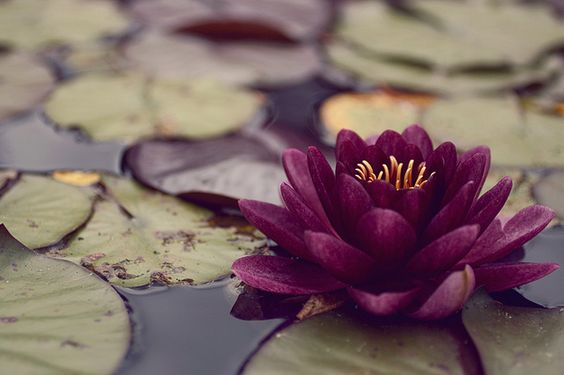 water lilies- what an amazing shade of purple