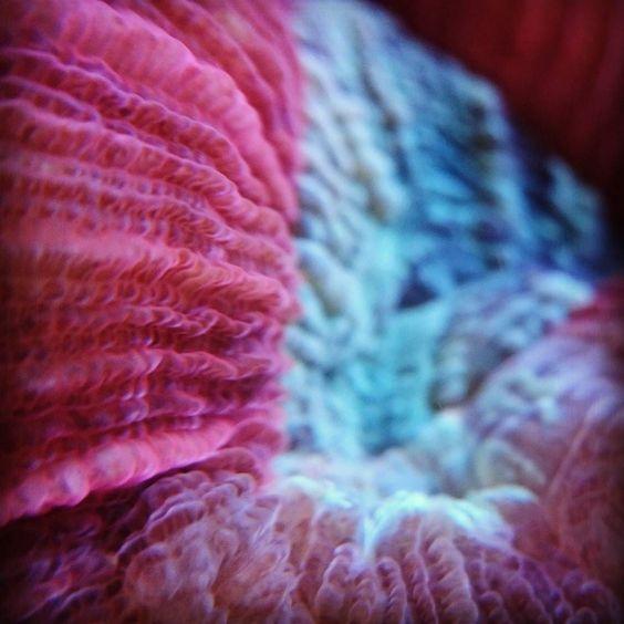 #Meerwasseraquaristik #Meerwasser #Meerwasseraquarium #Aquarium #Kalkröhrenwurm #ExtremBunt #GreatBarrierReef #Coral #Reef #Riff #Korallenriff #Koralle #Wulstkoralle #Trachyphyllia by dennis_meinecke http://ift.tt/1UokkV2