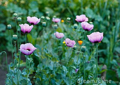 Beautiful violet poppies on a rural kitchen garden. Papaver somniferum.