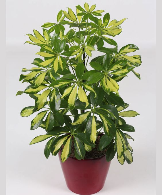 Umbrella Plant Toxic