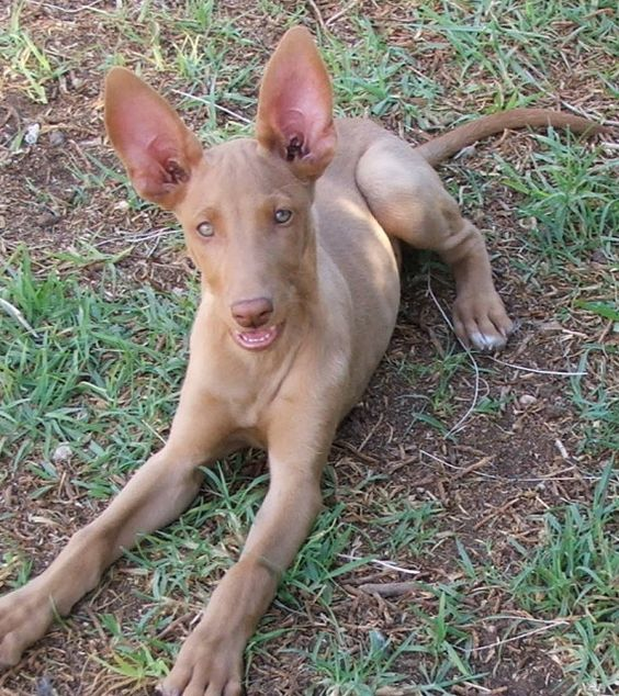 pharaoh hound photo | pharaoh hound puppy - Image Page