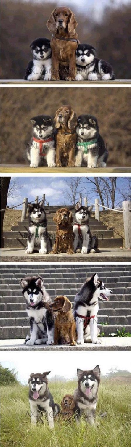 A small, brown dog with two husky pups getting their portraits taken together over time.: