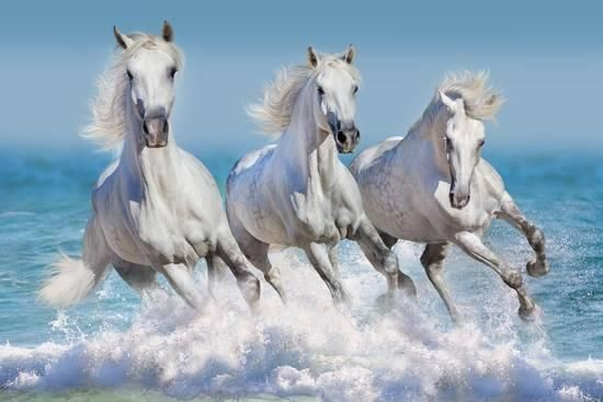Three White Horse Run Gallop In Waves In The Ocean Photographic Print Callipso Art Com Horses White Horse Horse Painting