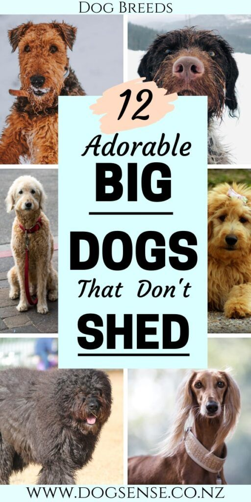 12 Gorgeous Big Dogs That Won T Cover You In Hair Dog Breeds That Dont Shed Dog Breeds Best Big Dog Breeds