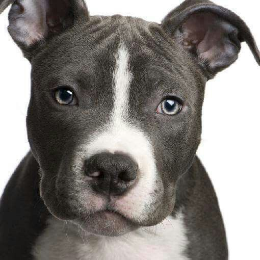 Image Result For Black Baby Pitbulls With A White Line Across