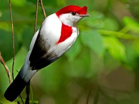 Araripe Manakin, is one of Brazil's rarest. Photo: Ciro Albano.