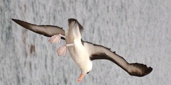 Save the Albatross!