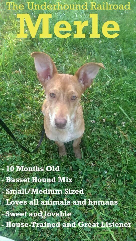 Adopt Merle On Petfinder Basset Hound Mix Basset Hound Dog Hound Dog