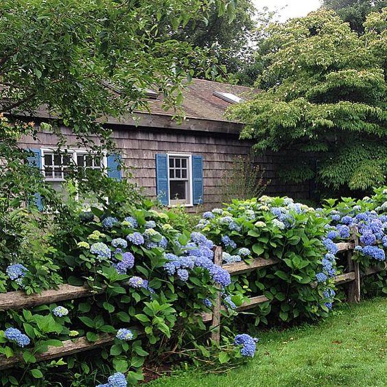 hydrainga border, split cedar fence, cottage garden: