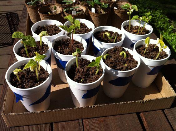 Starting beans cukes indoors gardening pinterest for Indoor gardening green beans