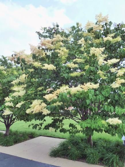 Japanese tree lilacs and japanese lilac on pinterest for Ornamental trees that grow in shade