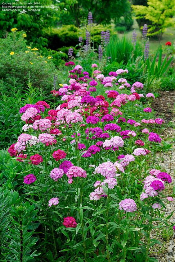 "Dianthus barbatus (biennial/short-lived perennial). Blooms all summer and into early fall, attracts bees and butterflies. Its common name is ""Sweet William."""