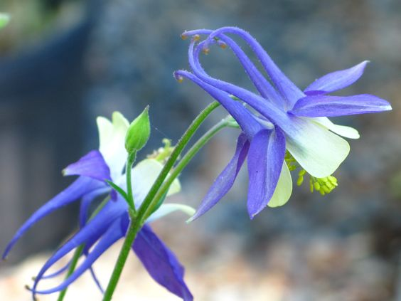 We had great success with the columbines this year.  Collecting seeds now for next year.