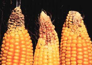 Potash deficient corn cobs from http://aesl.ces.uga.edu/DiagnosticsII/Symptoms_/Corn/Images-Corn/images-corn.html