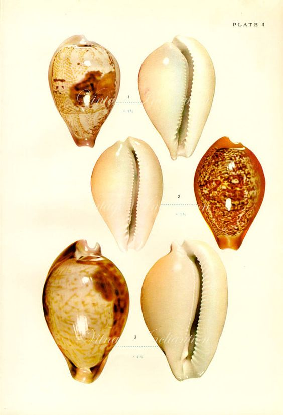 SHELLS Original Antique bookplate - printed 1958 - almost 60 years old  This lovely old print shows lots of sea shells in beautiful colour and