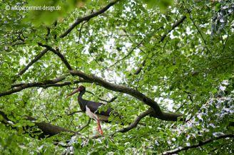#schwarzstorch altvogel am nest, brutplatz schwarzstorch, hessen, buchenwald schwarzstorch, wildeschoenheiten.wordpress.com