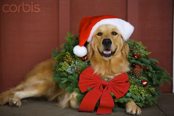 Golden Retriever wearing Christmas wreath and Santa hat-Cute Xmas card:
