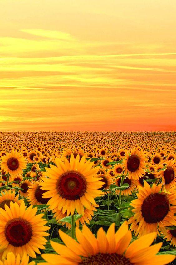 Подсолнечное поле, закат