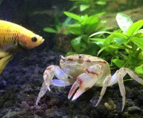 Feeding Crab In Aquarium Freshwater Aquarium Aquarium Freshwater Fish