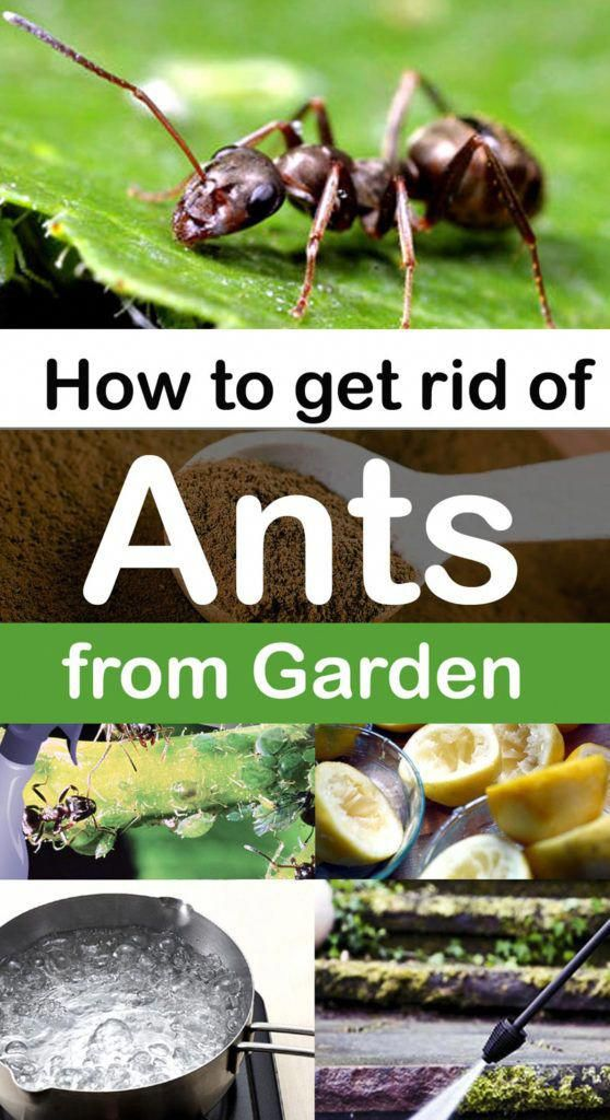 How To Get Rid Of Ants In Your Garden 7 Natural Ways To Get Rid Of Ants Gardenpests Get Rid Of Ants Rid Of Ants Ants In Garden