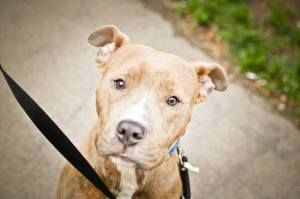 Bugle is an adoptable Pit Bull Terrier Dog in Buffalo, NY.  ...