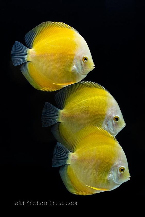Yellow discus stefan stiffcichlids fishkeeping for Yellow tropical fish