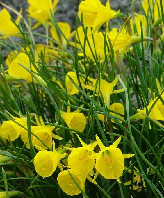 Bulbi Fiori Gialli.Pin Su Daffodils