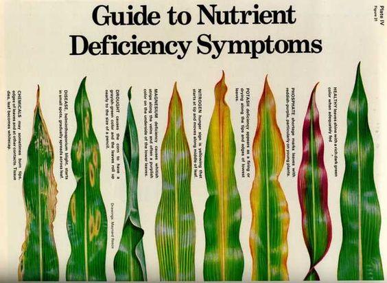 Corn leaves showing symptoms of phosphate, potash, nitrogen and magnesium deficiencies.