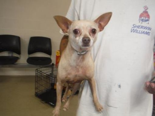 Fort Worth Tx Chihuahua Meet Mason A Dog For Adoption
