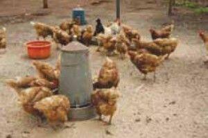 Chicken Oct 1