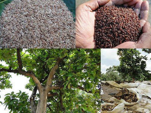 Validated and Powerful Medicinal Rice Formulations for Diabetes (Madhumeha) and Cancer Complications and Revitalization of Pancreas (TH Group-146 special) from Pankaj Oudhia's Medicinal Plant Database