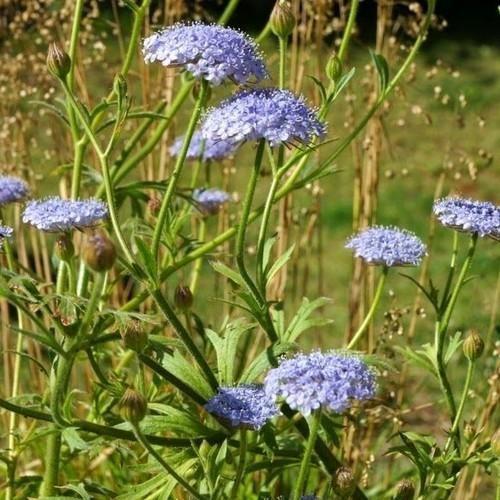 Trachymene Coerulea Flowers Flower Seeds Annual Flowers