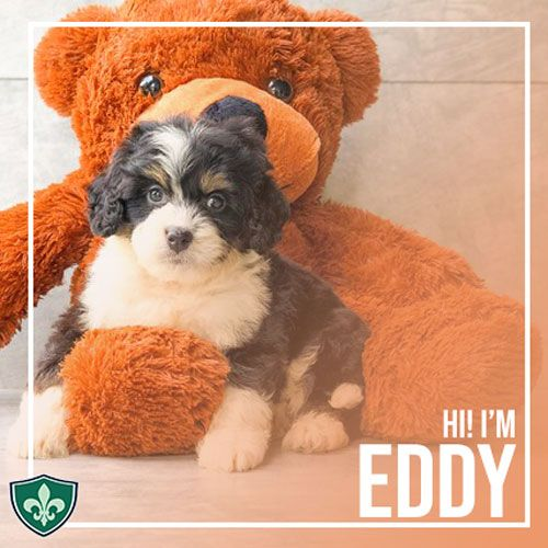 The Miniature Bernedoodle Is A Mix Breed Between The Miniature Poodle And The Bernese Mounta Bernese Mountain Dog Bernese Mountain Dog Shedding Dog Shedding