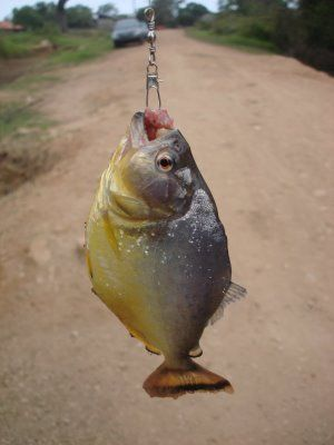 Caught a piranha while fishing in the Amazon.  They don't look quite so scary up close.