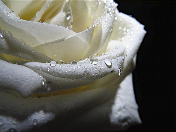 Rose shot! by bianca Feenstra, via 500px