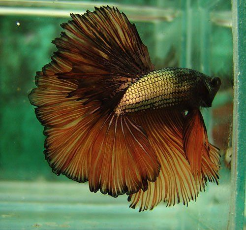 Copper gold dragon  - that's way too much finnage for a fish that size, but his coloring is beautiful! - Bri: