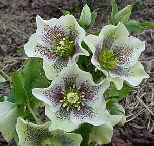 helleborus orientalis 39 spotted hybrids 39 the amazing nature pinterest plants. Black Bedroom Furniture Sets. Home Design Ideas