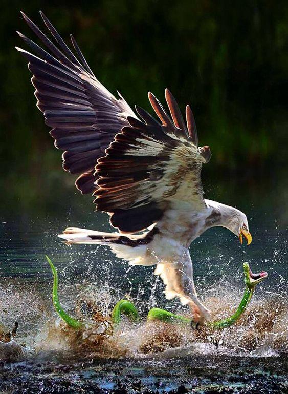 A hawk catching a snake.--это РЕАЛ животного мира и ПОБЕДА ВСЕГДА ЗА ОРЛОМ! это ТОЧНО ПОКАЗАЛО БИТВУ ВТОРОЙ МЕССИИ БОГА ПРАВОСЛАВНОЙ ДЕВИЦЫ с ВОСТОКА -ЕЛЕНЫ SVE SEV с Антихристом.. .ДЕВИЦА-ОРЕЛ!1964год рождения МЕССИИ-год ОРЛА! а Антихрист -миллиардер Михаил Прохоров год рождения 1965- это год Змеи! КАК и на фото И В РЕАЛЕ ОРЕЛ над змеей одерживает ПОБЕДУ ВСЕГДА! ТАК И МЕССИЯ БОГА СВЕРГЛА Антихриста 21 ИЮЛЬ 2012 и СПАСЛА ВСЕХ за 5 мес от Конца Света
