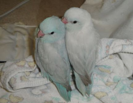 budgies.  Had these. These are actually parrotlets, I think.
