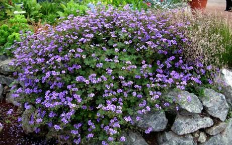 "Geranium pyrenaicum 'Bill Wallis' (Groundcover) Delightful, deep purple-blue blooms present a cloud of color, 15"" tall x 20"" across from Spring-Fall. Fast, tough & EASY, won't fade away if you forget to water. Reliably perennial, self-sows to fill bare spots with color. When flowers are spent (after months), cut back to 1"", side dress w/compost & it'll burst right back into bloom. BEST in rich soil & half day sun, but not required. Heat tolerant. Great in containers. Sun/Pt. Sun   Avg./Low…"