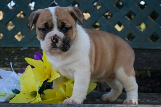 Beabull Puppy For Sale In Leetonia Oh Adn 68792 On Puppyfinder Com Gender Female Age 9 Weeks Old Puppies For Sale Puppies Leetonia