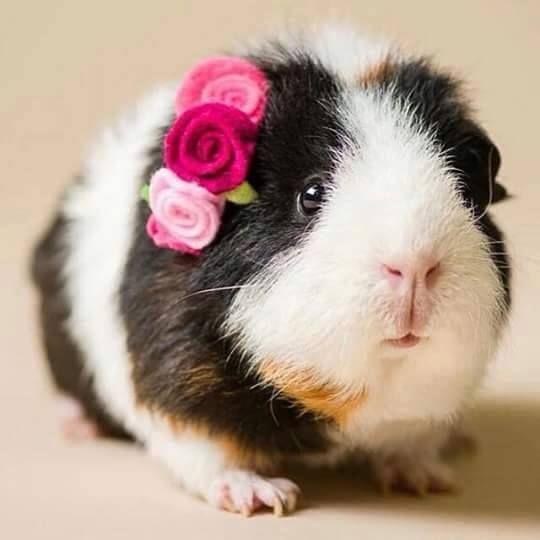 how to cut guinea pig hair