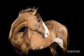 Pferde im Studio - Monika Bogner Photography - Pferdefotografie und Hundefotografie in Bayern