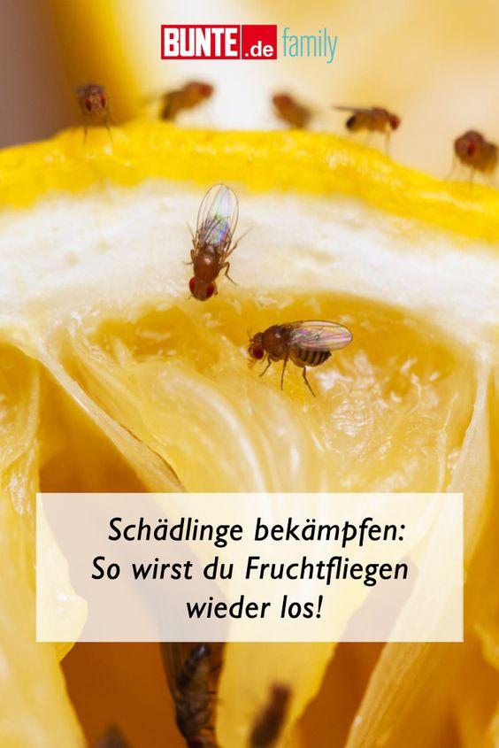 Schadlinge Bekampfen So Wirst Du Fruchtfliegen Wieder Los In 2020 Fruchtfliegen Obstfliegen Hausmittel Obstfliegen