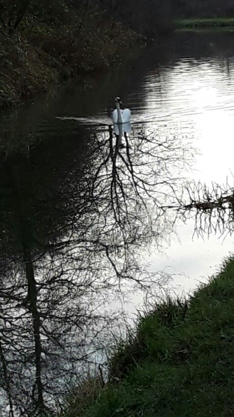 Swan approaching